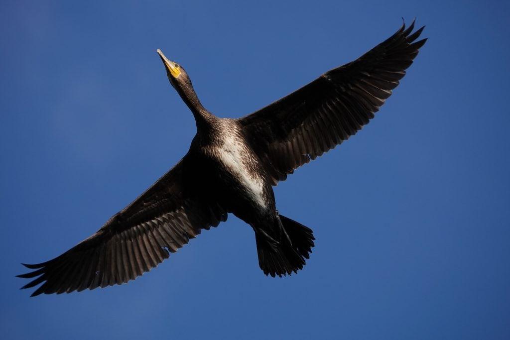 Sony RX10 IV birds in flight sample
