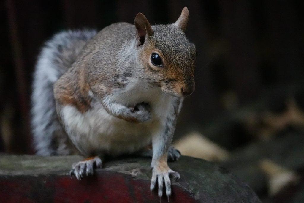 Sony RX10 IV grey squirrel image sample