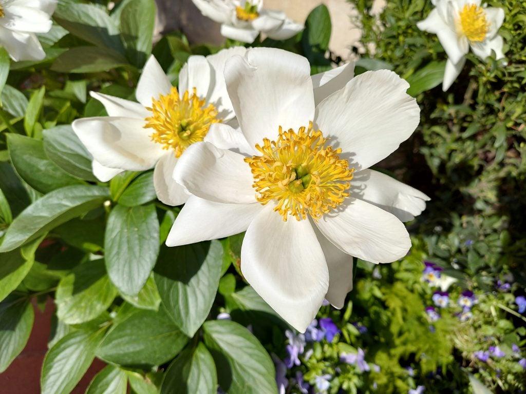 Образец камеры Asus ZenFone 6 естественный свет макро цветок